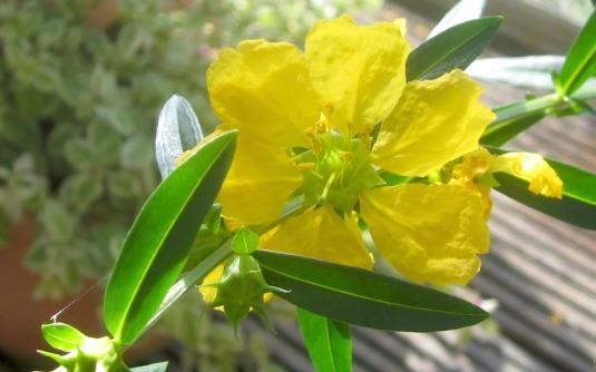 sinicuichiplant2